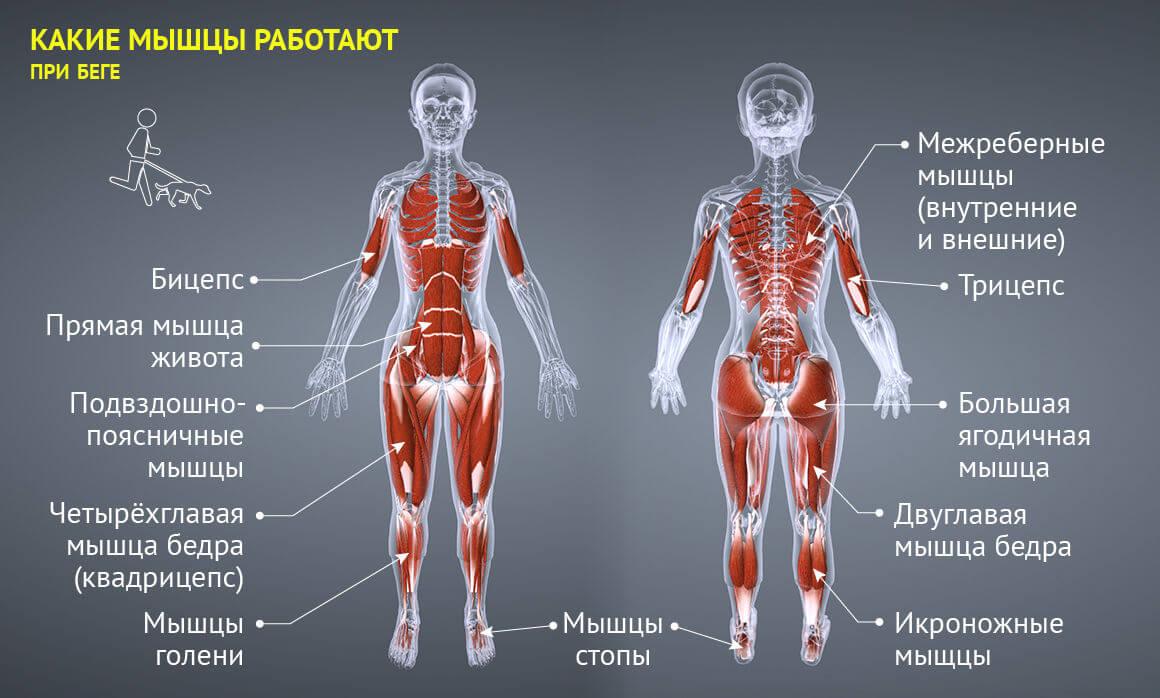 сколько групп мышц у человека фото